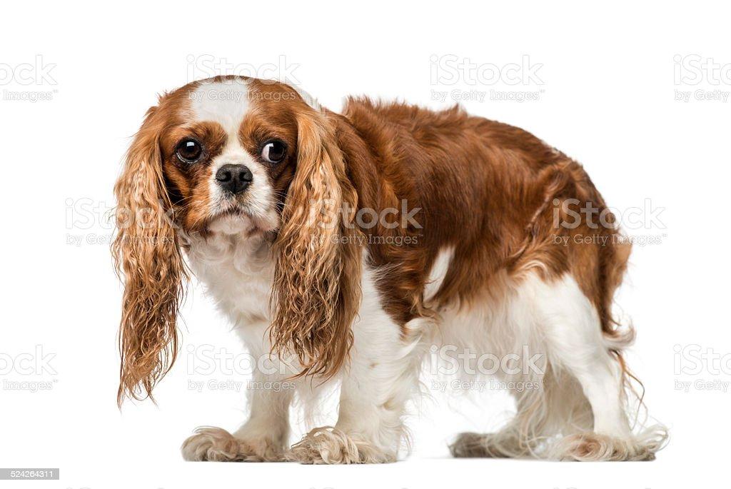 Cavalier King Charles Spaniel (4 years old) - Royalty-free Animal Stock Photo