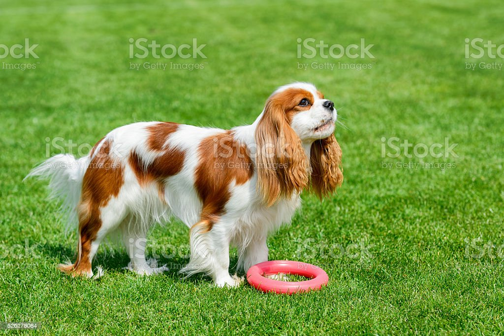 Cavalier King Charles spaniel playing on green field. stock photo