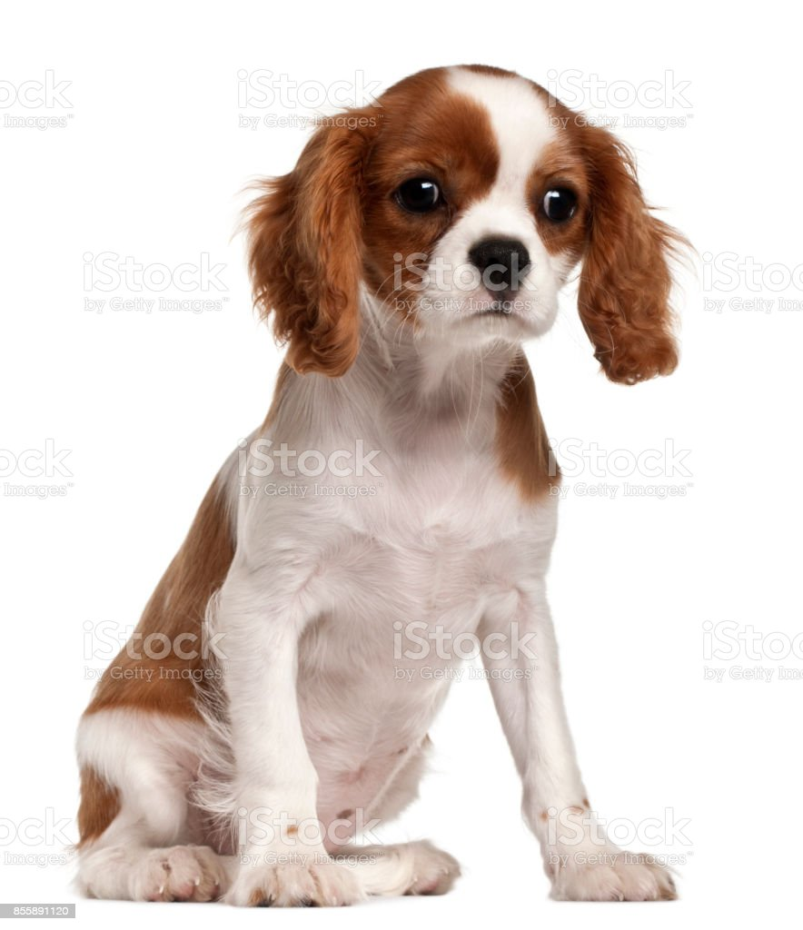 Cavalier King Charles Spaniel Puppy 3 Months Old Sitting In Front Of White Background Stock Photo Download Image Now Istock