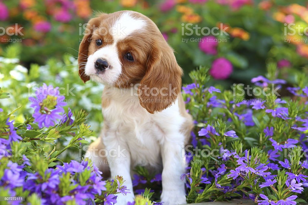 Cavalier King Charles Spaniel puppy in flowerbed stock photo