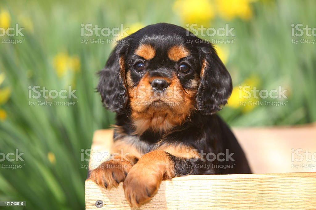Cavalier King Charles Spaniel Puppy in Wooden Wagon stock photo