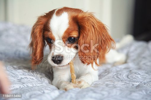 Cavalier king Charles spaniel puppy on a bed with dog chew