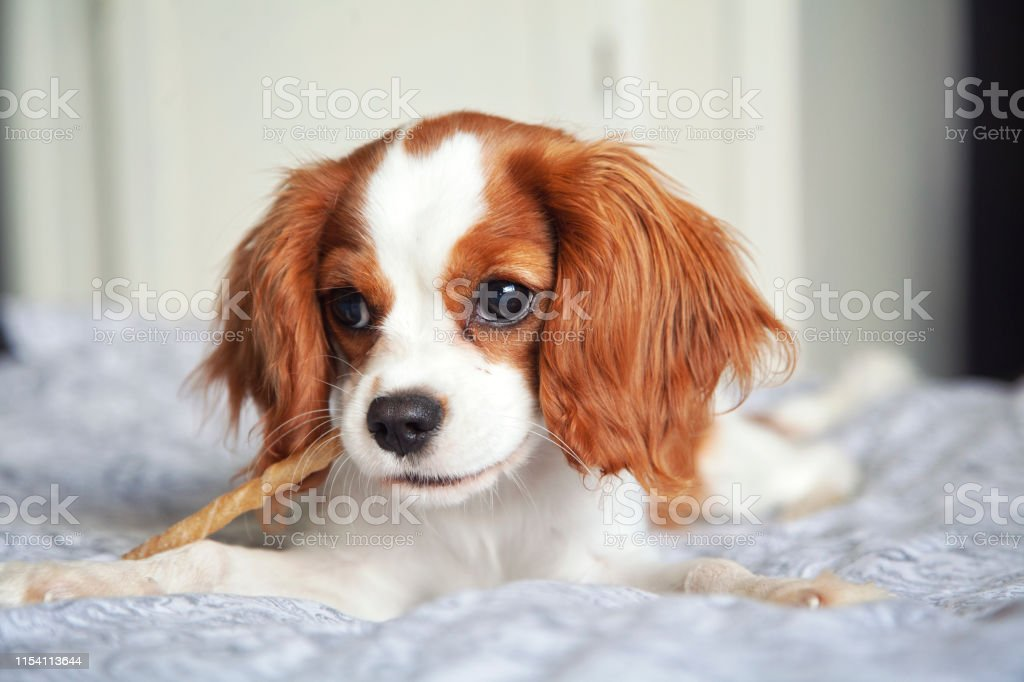 Cavalier King Charles Spaniel Puppy Stock Photo Download Image Now Istock