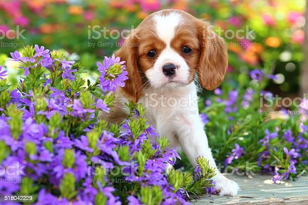 Cavalier king charles spaniel puppy picture id518042229?b=1&k=6&m=518042229&s=612x612&h=mdjj9gv4yazo0sptt1yfugtadzjwza60pxmspukuxfk=