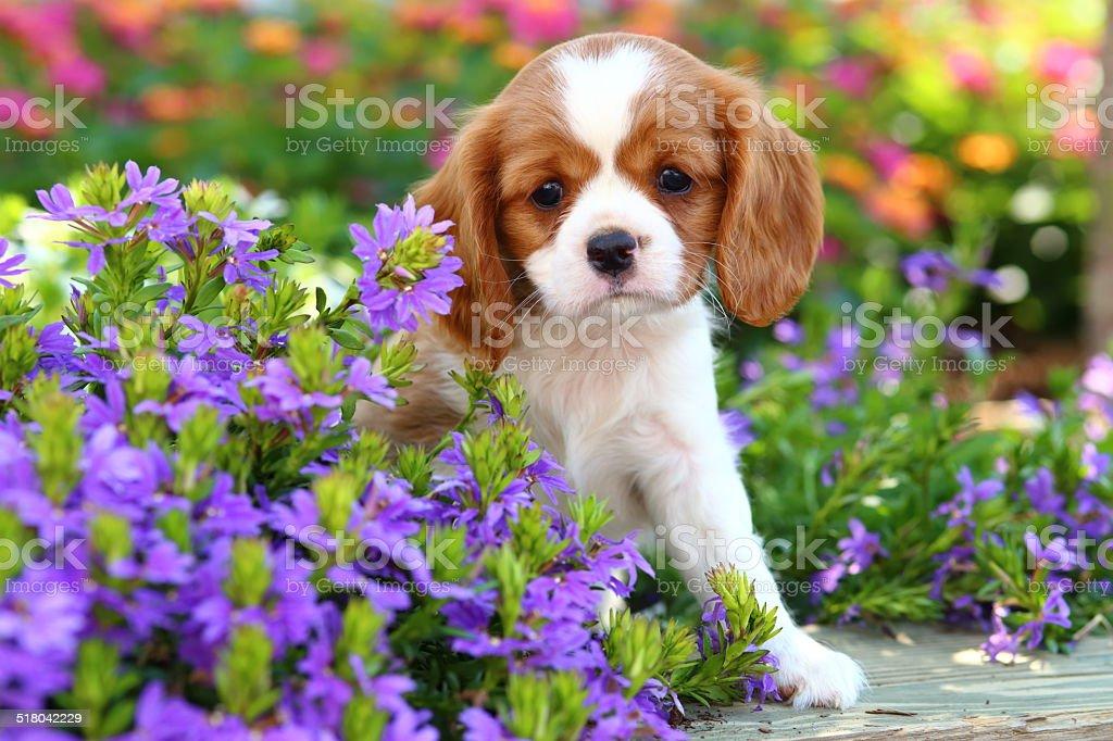 Cavalier King Charles Spaniel puppy stock photo