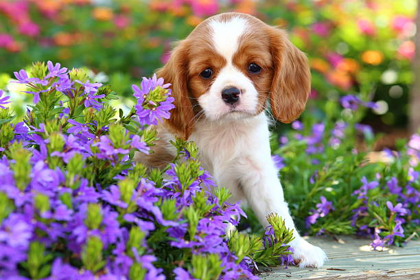 Cavalier King Charles Spaniel Chiot - Photo