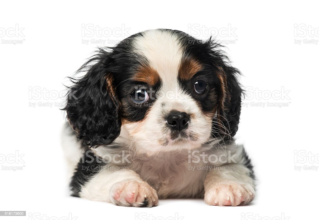 Cavalier King Charles Spaniel puppy (8 weeks old) stock photo