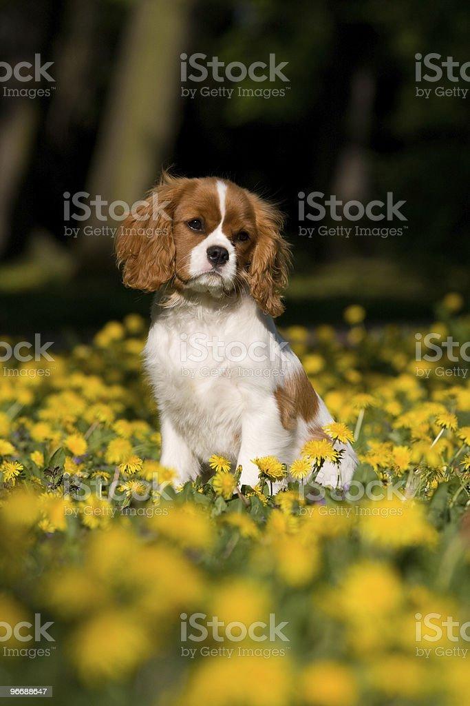 Cavalier King Charles spaniel  puppy royalty-free stock photo