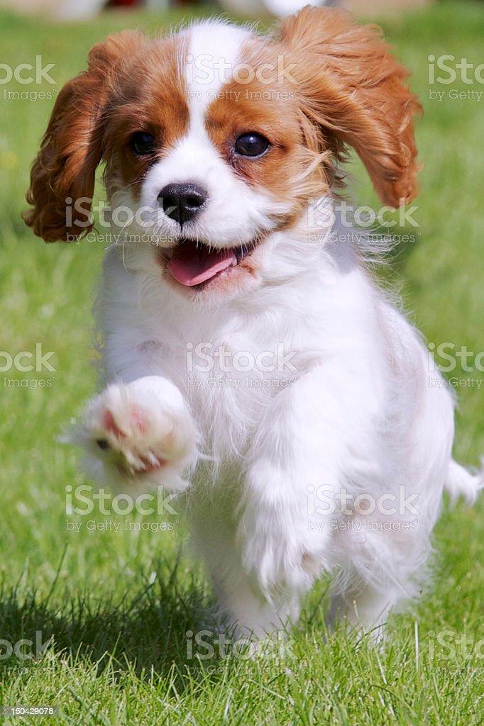 Cavalier King Charles Spaniel Puppy Running stock photo