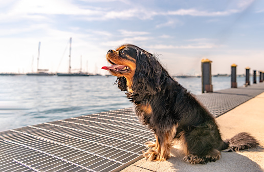 Cavalier King Charles Spaniel sits at a pier overlooking Lake Michigan