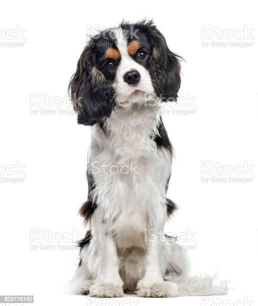 Cavalier king charles spaniel sitting 10 months old isolated on white picture id823776140?b=1&k=6&m=823776140&s=612x612&h=3j3xusp2hobkqbstjg2enarr1yq4r0eugn1av0umaly=