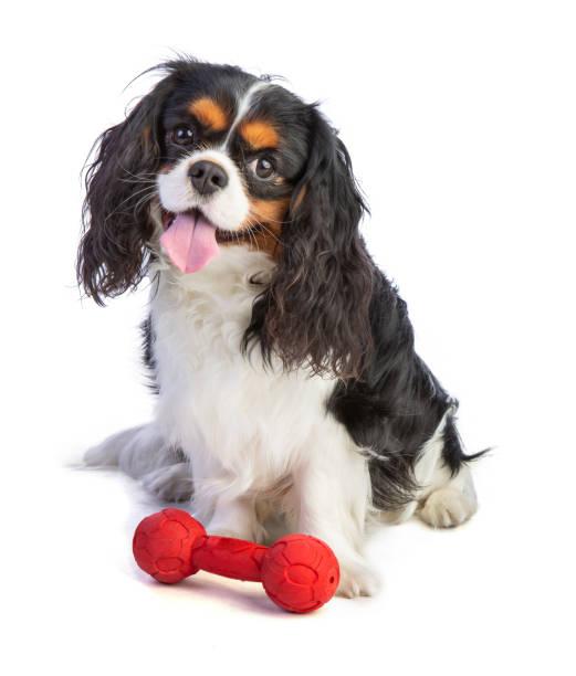 Kavalier König Charles Spaniel sitzt mit einem Spielzeug – Foto