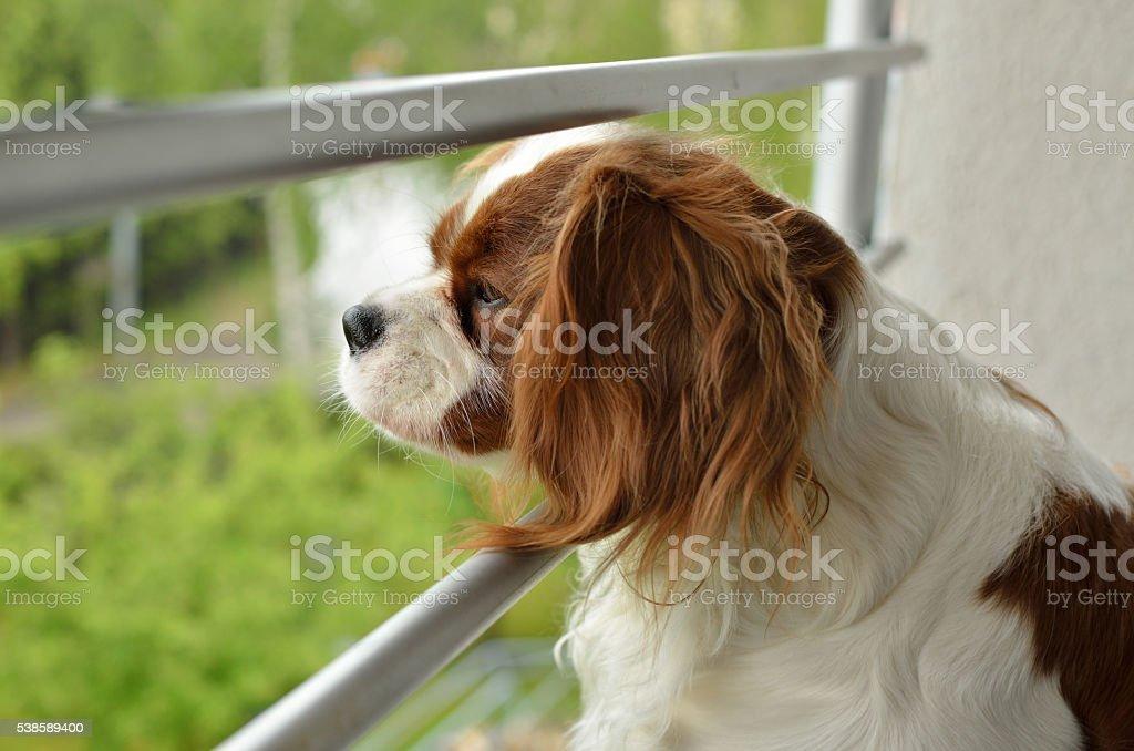 Cavalier King Charles Spaniel Watching stock photo