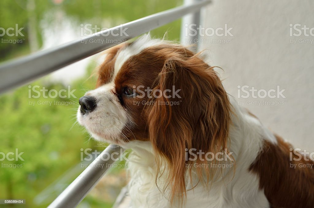 Cavalier King Charles Spaniel Watching stock photo