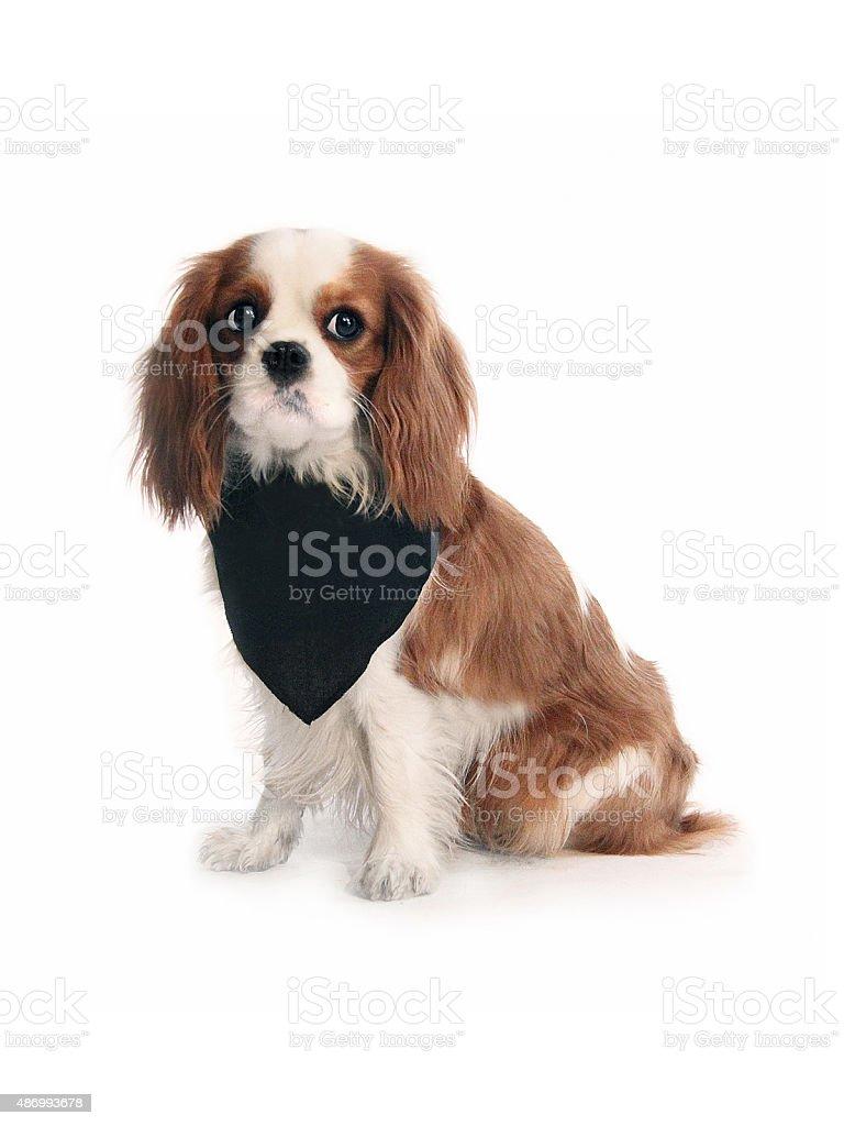Cavalier King Charles Spaniel with black bandana stock photo