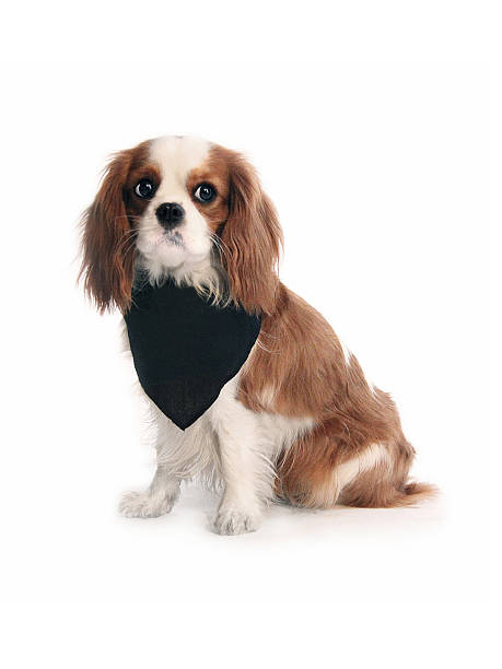 Cavalier King Charles Spaniel with black bandana stock photo