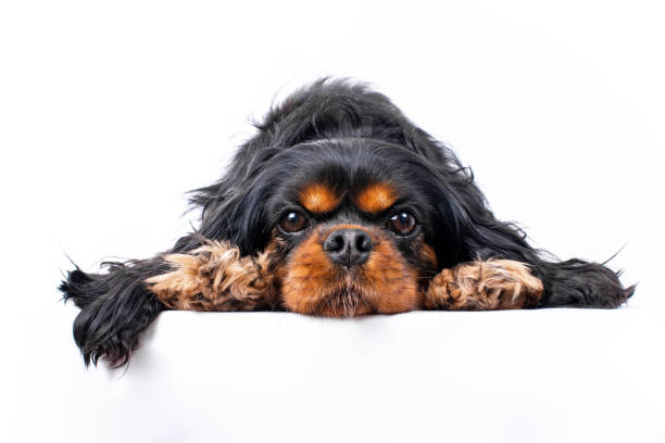 Cavalier King Charles Spaniel with chin down between paws, isolated against a white background stock photo