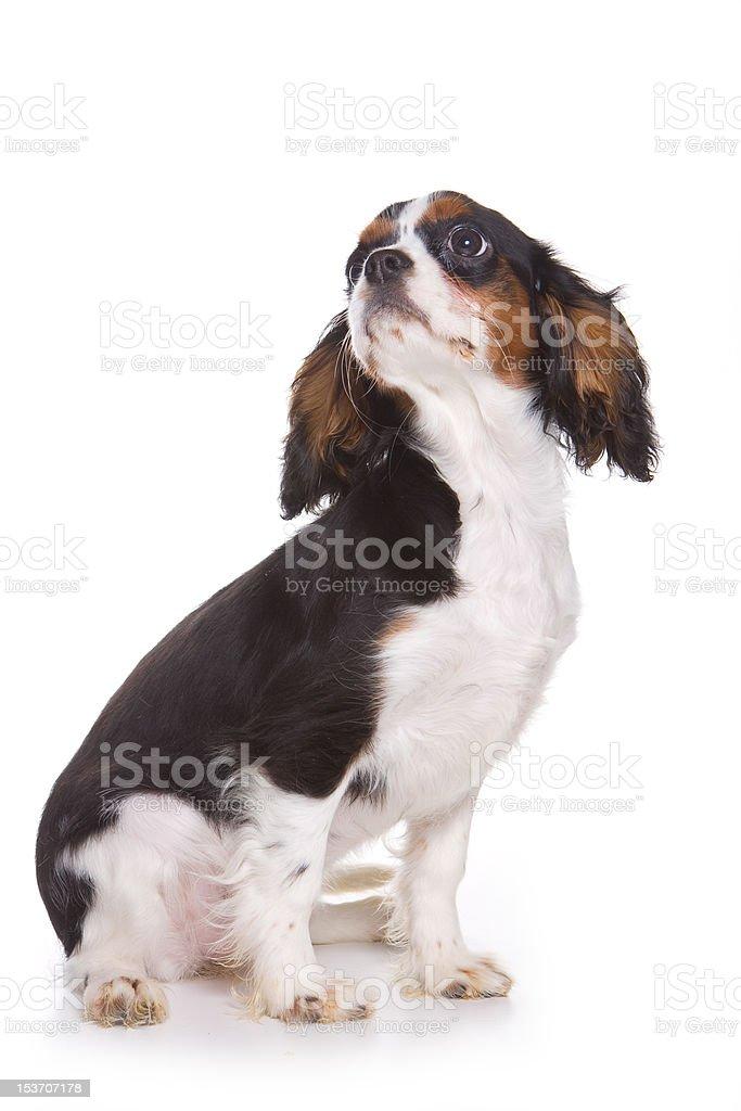 Cavalier King Charlies Spaniel puppy royalty-free stock photo