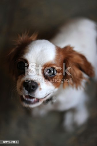 Close-up of King Charles Cavalier Spaniel Blenheim Puppy (6 months old) looking at camera.