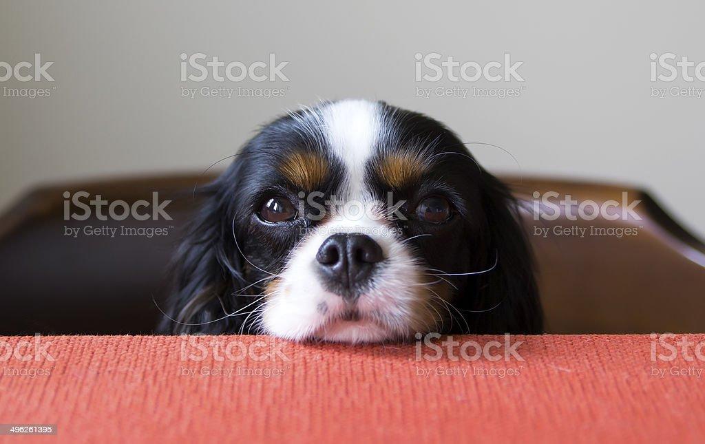 cavalier spaniel stock photo