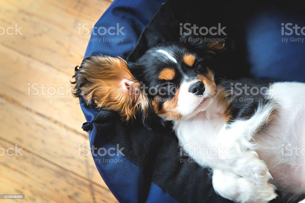 cavalier spaniel puppy stock photo
