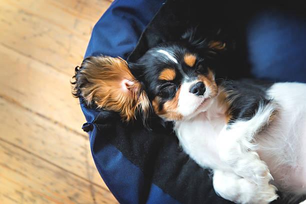 kavalier spaniel hund - marineblau schlafzimmer stock-fotos und bilder
