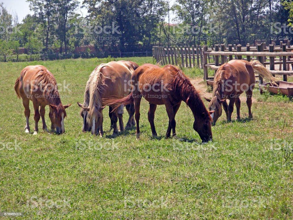 cavalli photo libre de droits