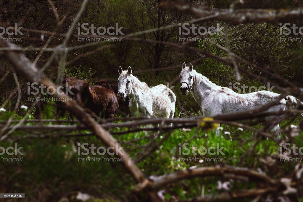 Cavalli selvaggi stock photo