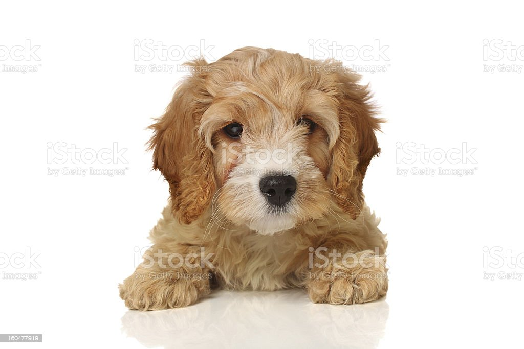 cavapoo puppy stock photo