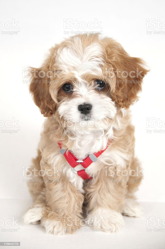Cavapoo Puppy Stock Photo Download Image Now Istock