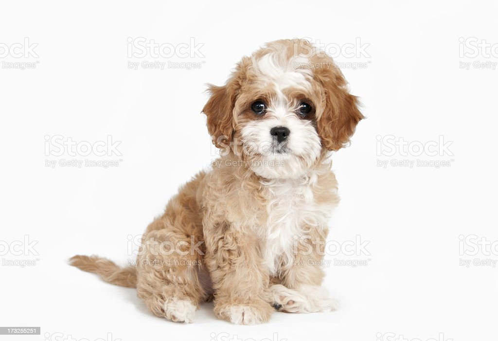 Cavapoo Puppy Sitting Stock Photo Download Image Now Istock