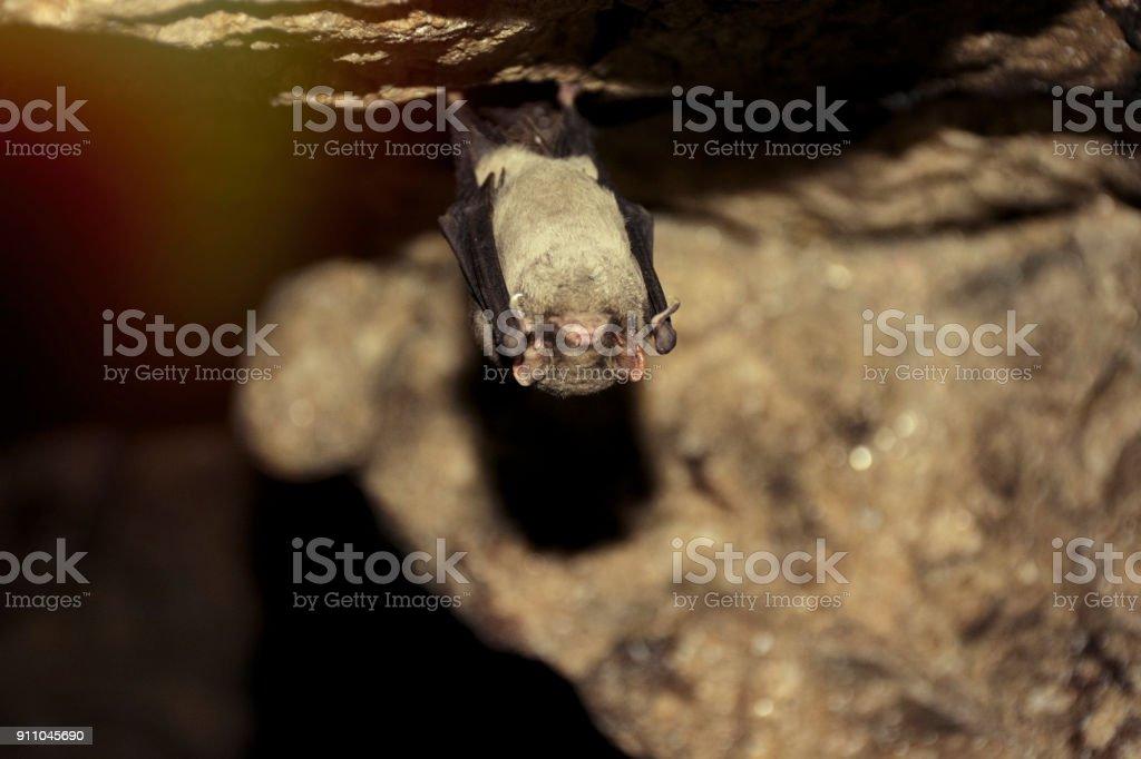 Image result for Pipistrellus subflavus