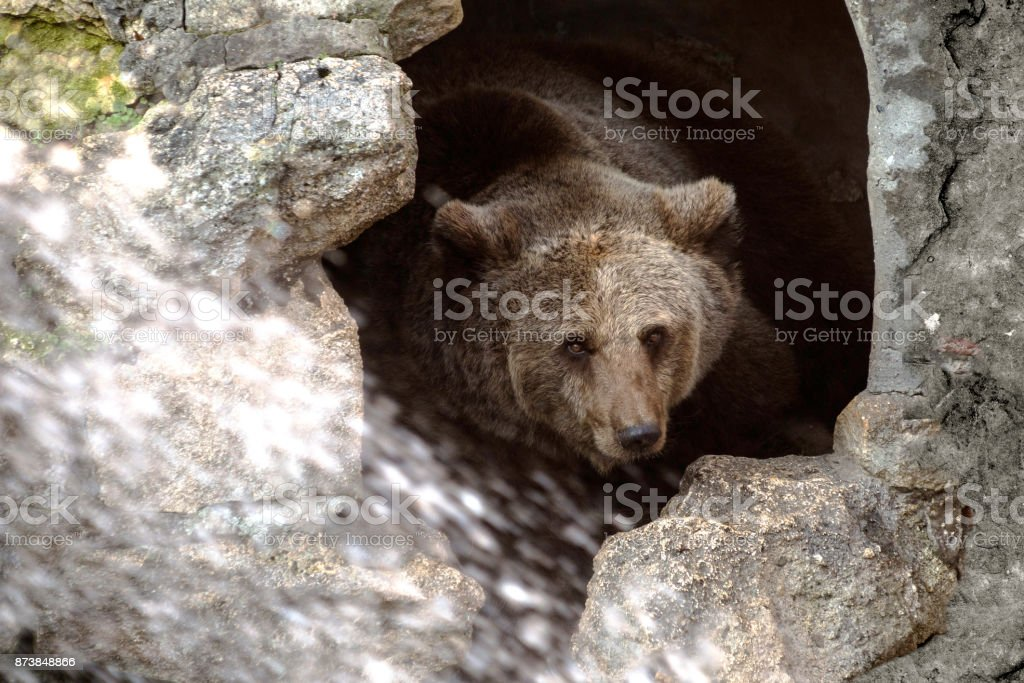 Cave bear stock photo