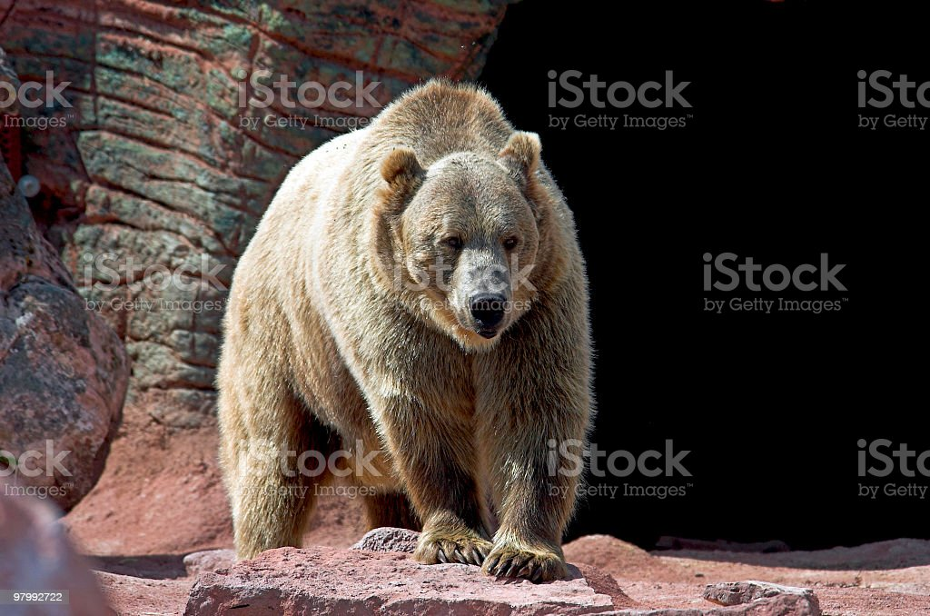 Cave Bear royalty free stockfoto