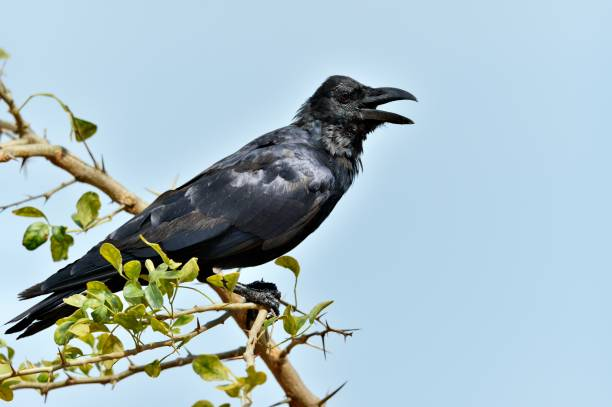 cawing crow. - croak stock pictures, royalty-free photos & images