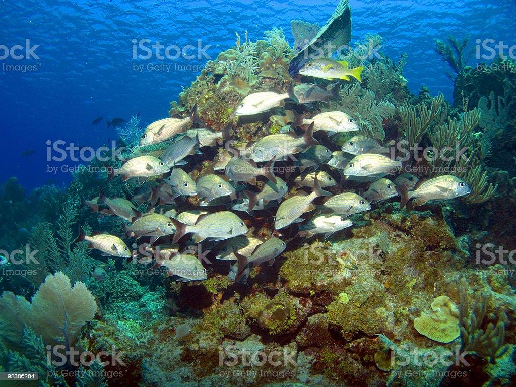 Cayman Brac Reef Scene with school of French Grunts stock photo