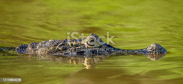 Cayman head on the surface of the water. Brazil. Pantanal National Park. South America.