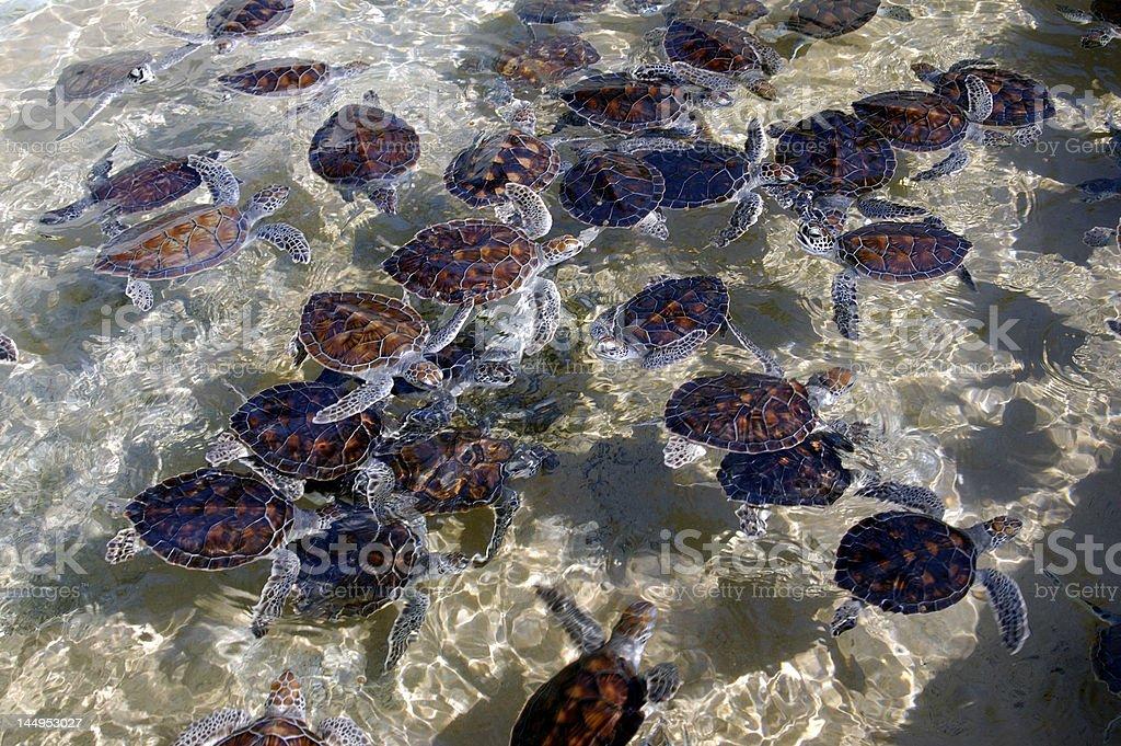Cayman Islands Turtle Farm stock photo