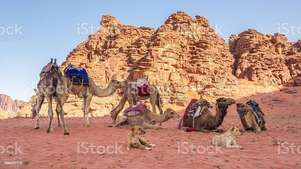 Ccamels in the Wadi Rum desert in Jordan photo libre de droits