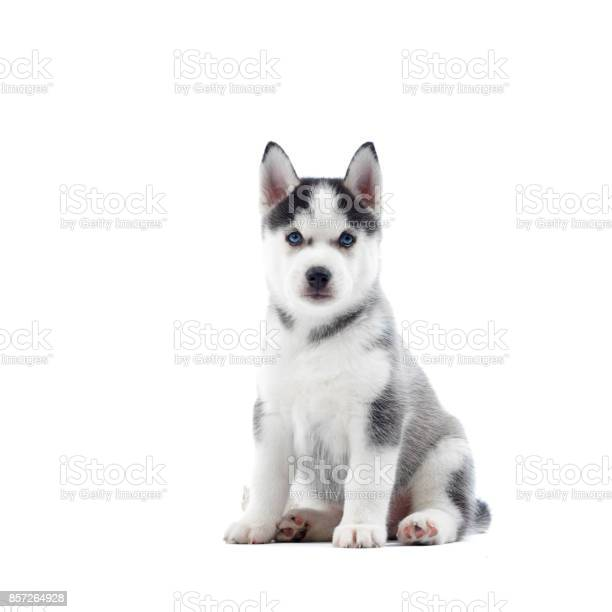 Ccute siberian husky dog with blue eyes and gray fur picture id857264928?b=1&k=6&m=857264928&s=612x612&h=d  r w8himxdooepdeemn8cwxeapabzy1cqqov4 kfk=