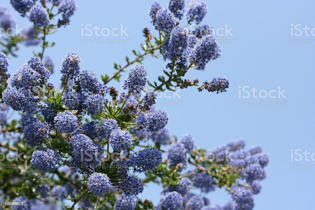 Ceanothus in bloom! stock photo