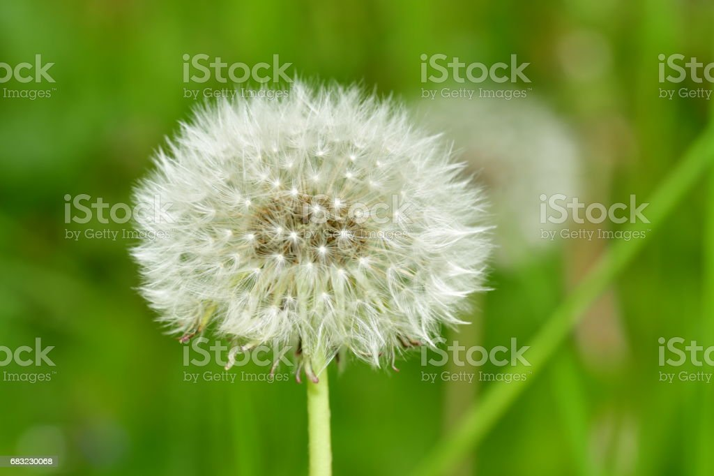 cease blossoming dandelions royalty-free 스톡 사진