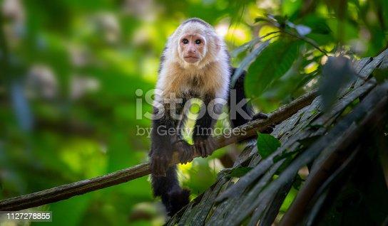 Cebus monkey costarica