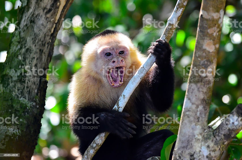 Cebus Monkey stock photo