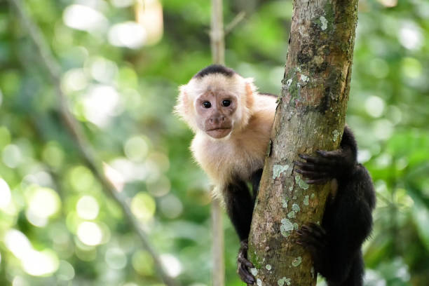 cebus monkey - monkey stock photos and pictures