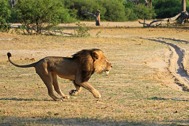 Cecil the lion running across the african plains – Foto