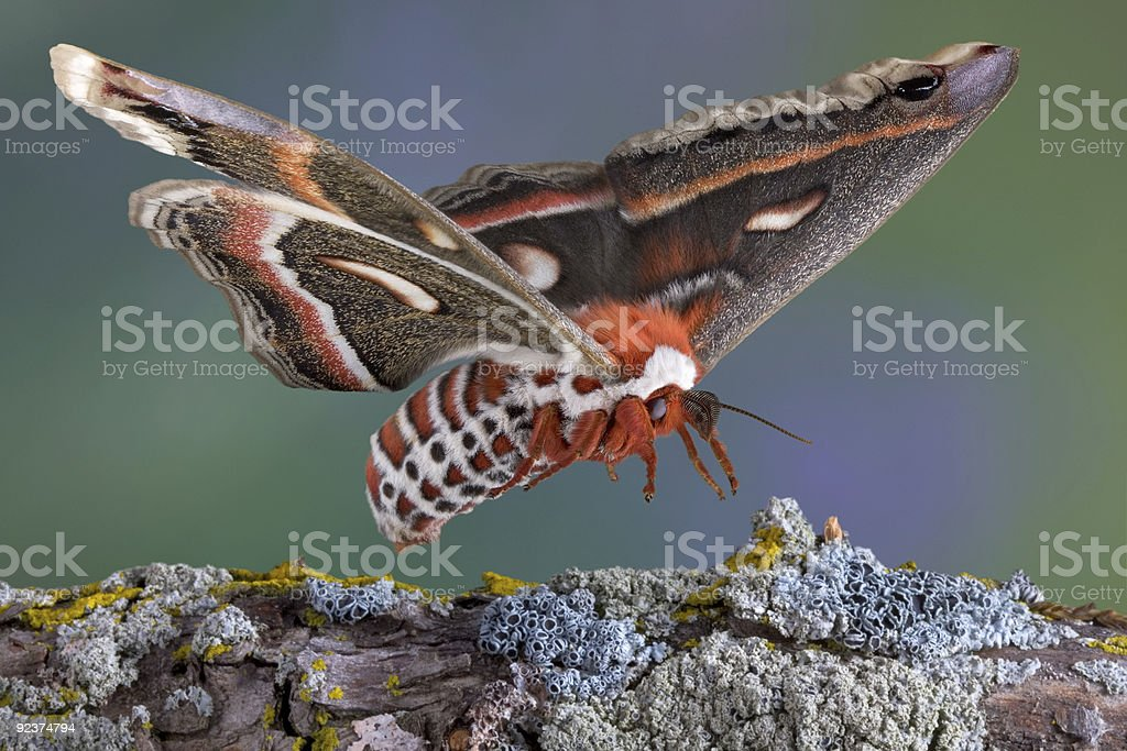 Cecropia moth landing on branch royalty-free stock photo