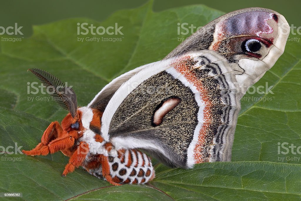 Cecropia Moth sitting on leaf royalty-free stock photo