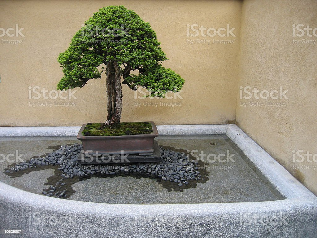 Cedar Bonsai Tree Displayed With Beige Background Stock Photo Download Image Now Istock