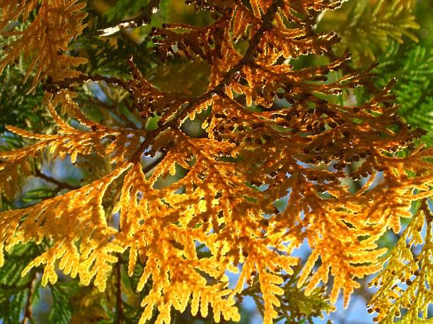 Cedar Bough Blend stock photo
